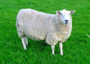 02-mouton