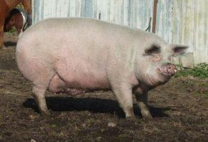 05-cochon